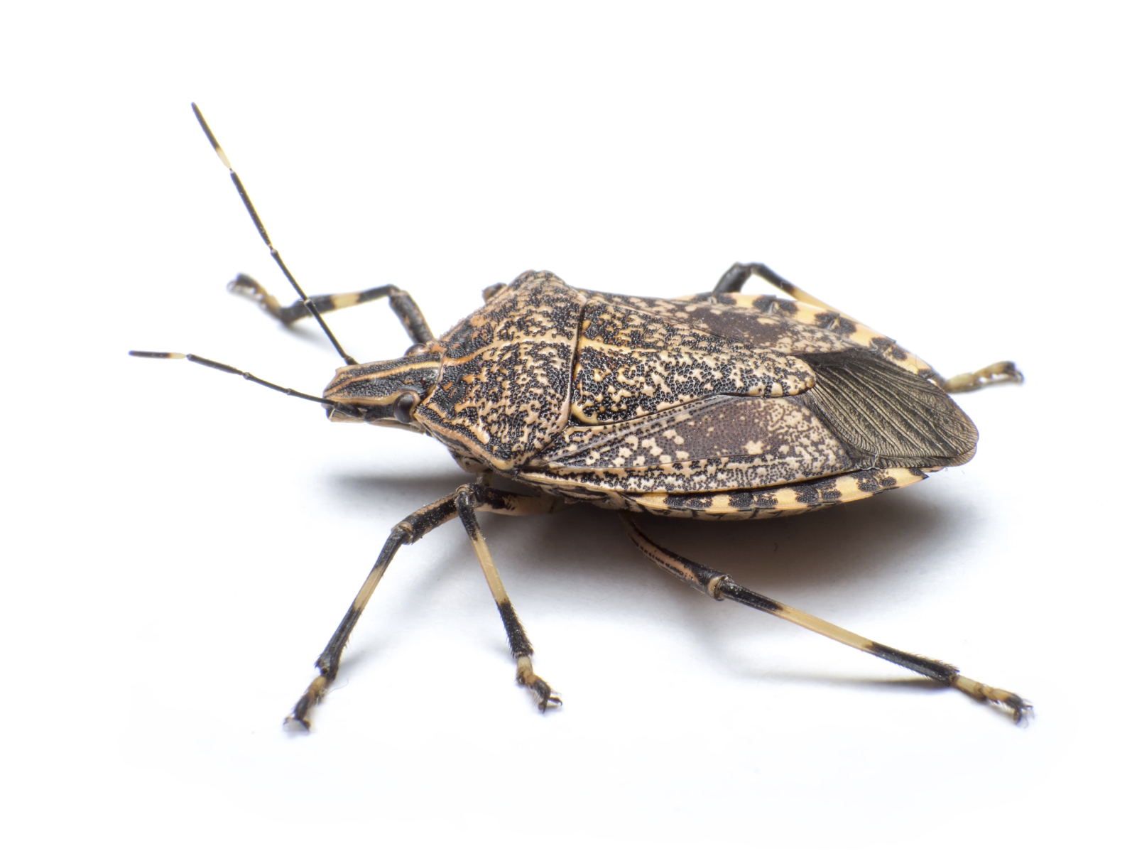 Why are the stink bugs so bad in Knoxville? pest control