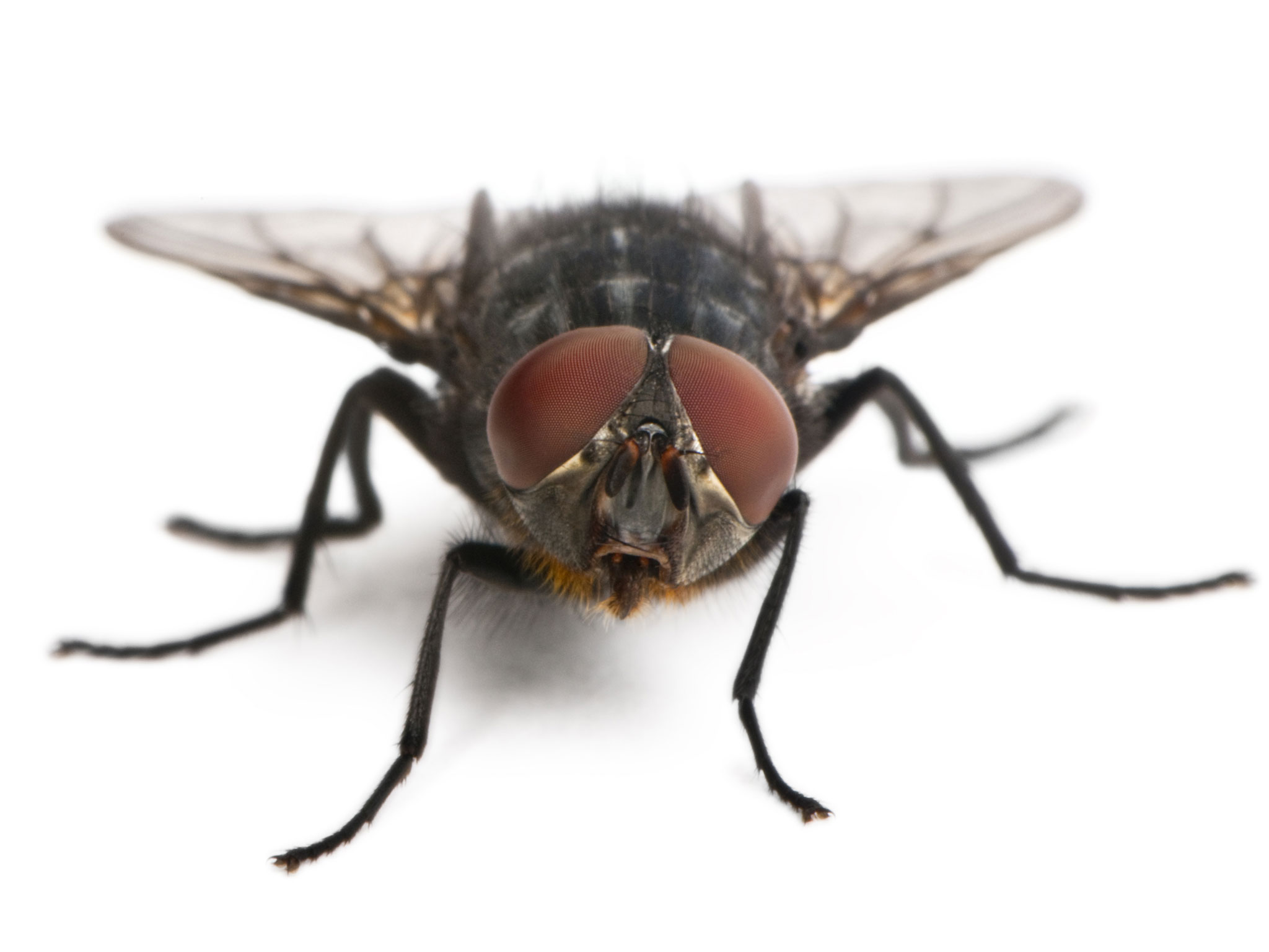 houseflies pest control