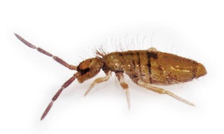 springtails pest control