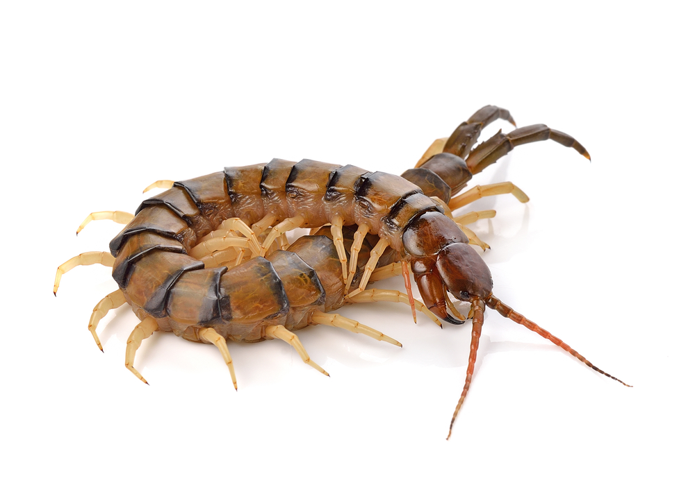 are centipedes dangerous pest control