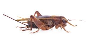 crickets pest control