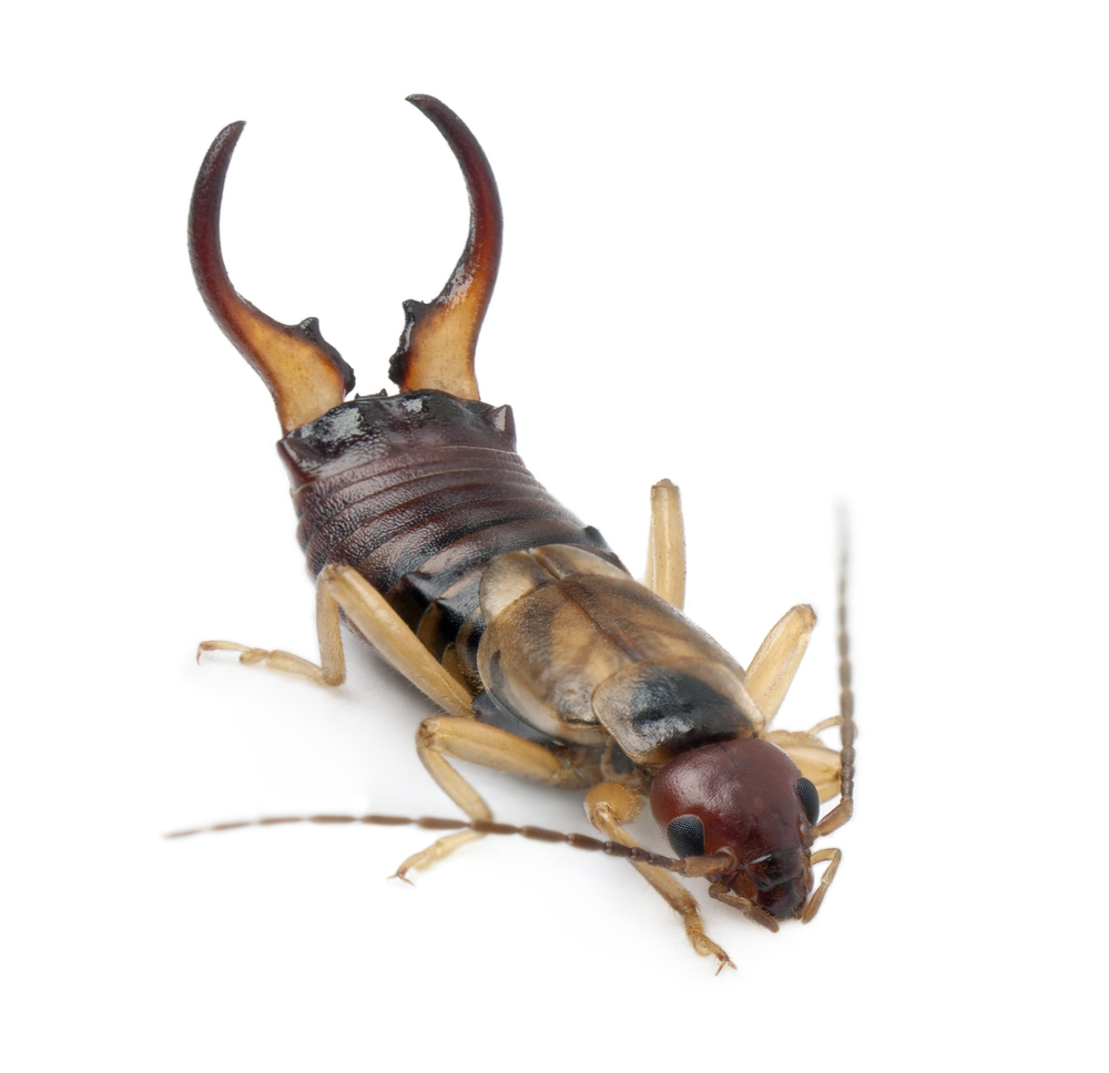 Are Earwigs Harmful To Humans pest control
