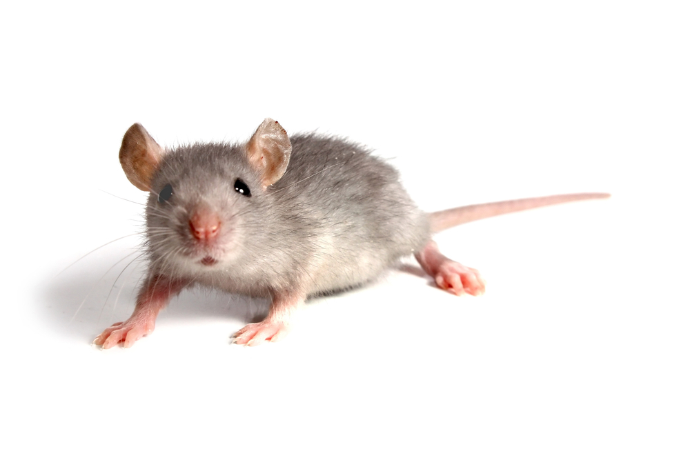 Are house mice dangerous?