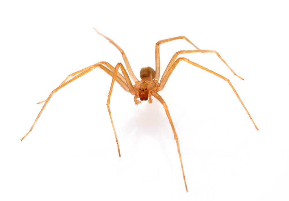 How do you identify a brown recluse spider? pest control;