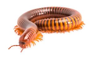 are millipedes dangerous pest control