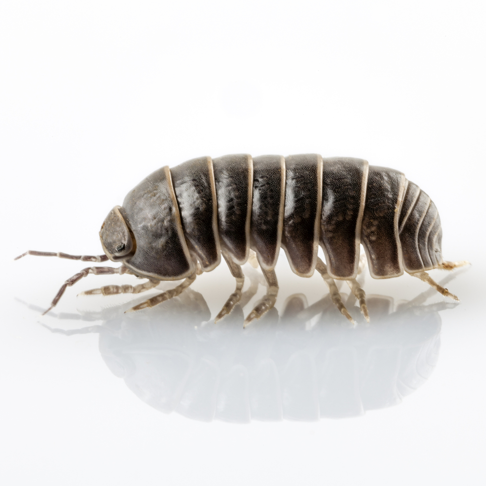 pill bugs pest control