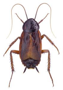 oriental cockroach pest control