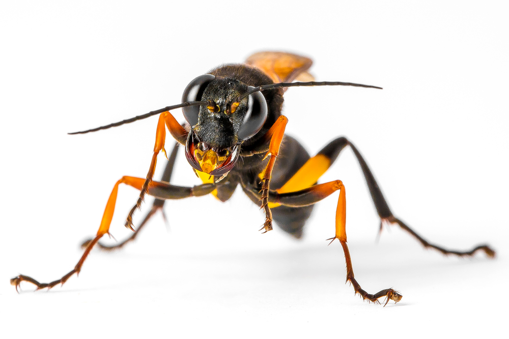 do mud daubers sting pest control