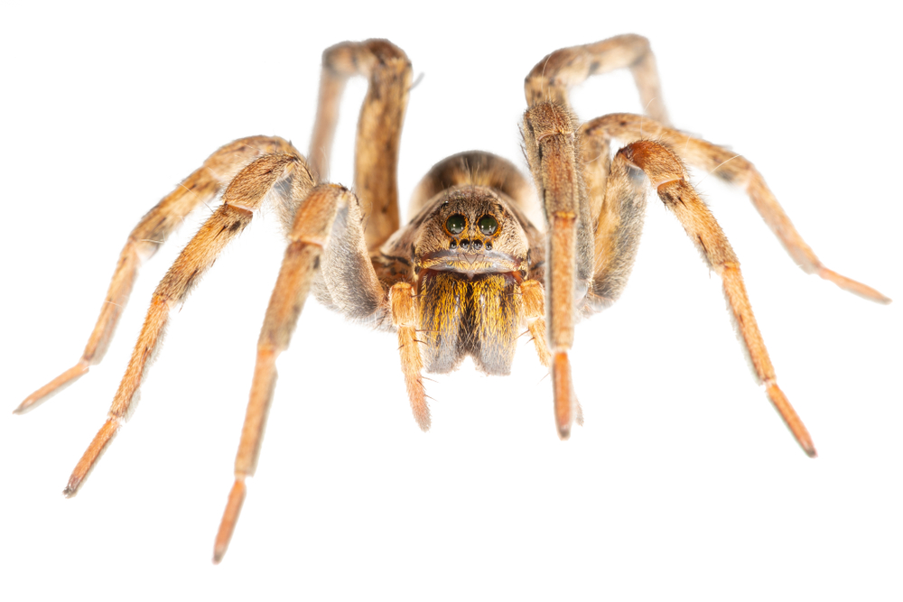 Are wolf spiders dangerous to humans?