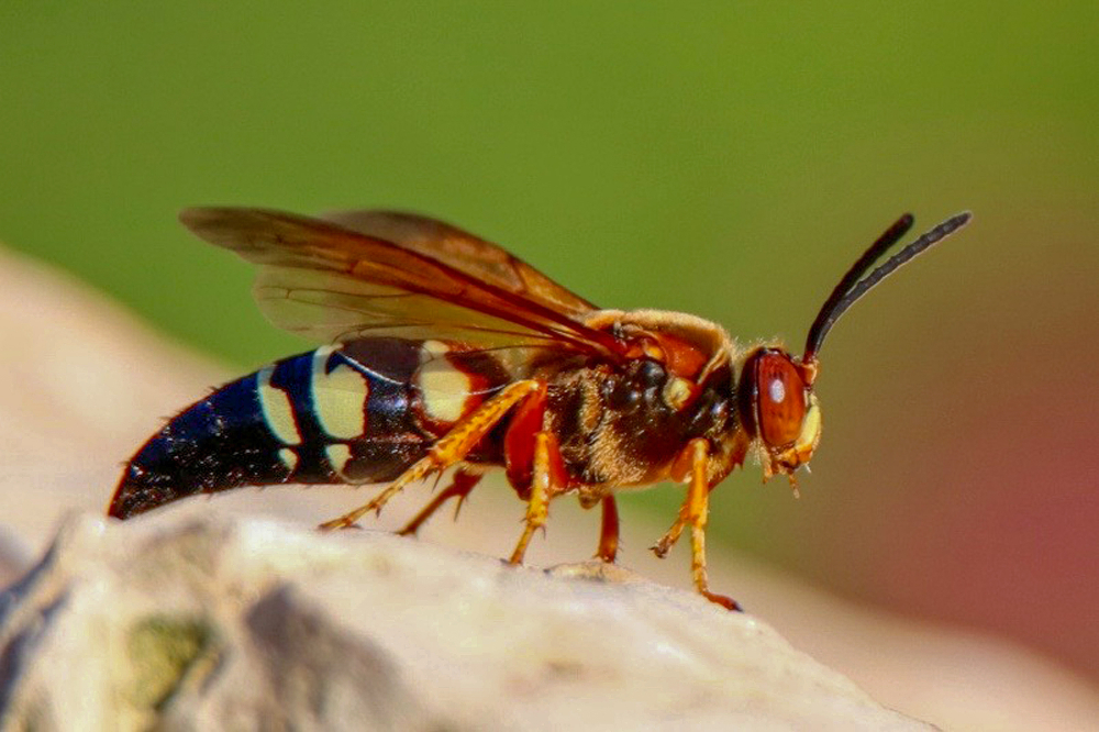 Can cicada killers hurt you pest control