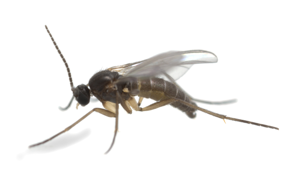 are fungus gnats harmful pest control