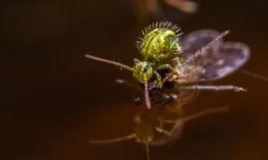 are springtails harmful pest control