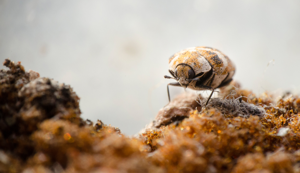 how do you get carpet beetles pest control