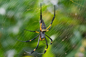 Are Orb-Weaver Spiders Dangerous? pest control