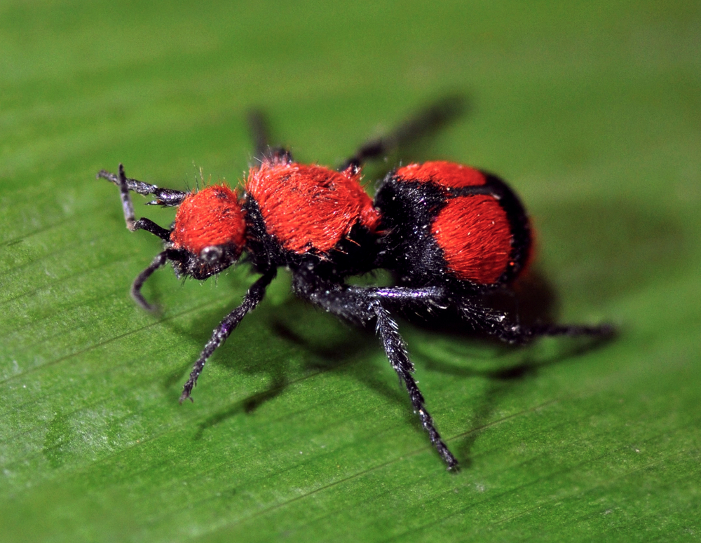 How bad is the velvet ant sting pest control