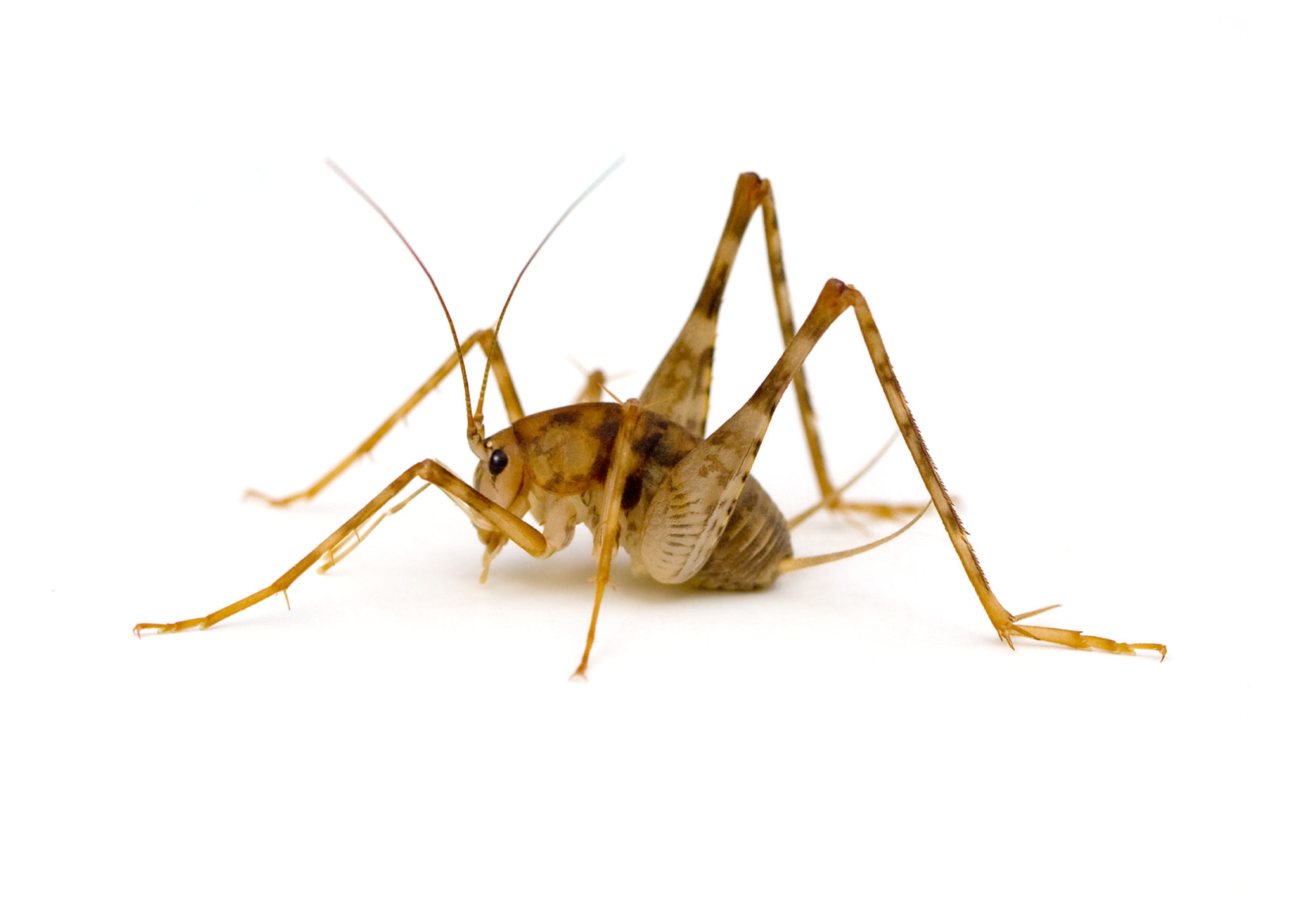Can camel crickets hurt you pest control