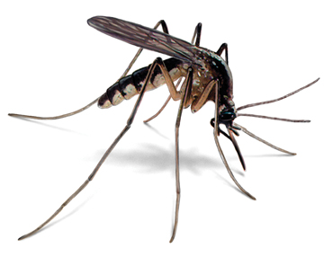 Are mosquitoes bad in North Carolina? Pest control