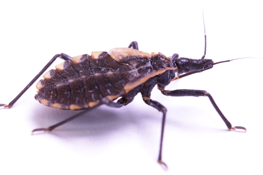 Are kissing bugs in NC? Pest control