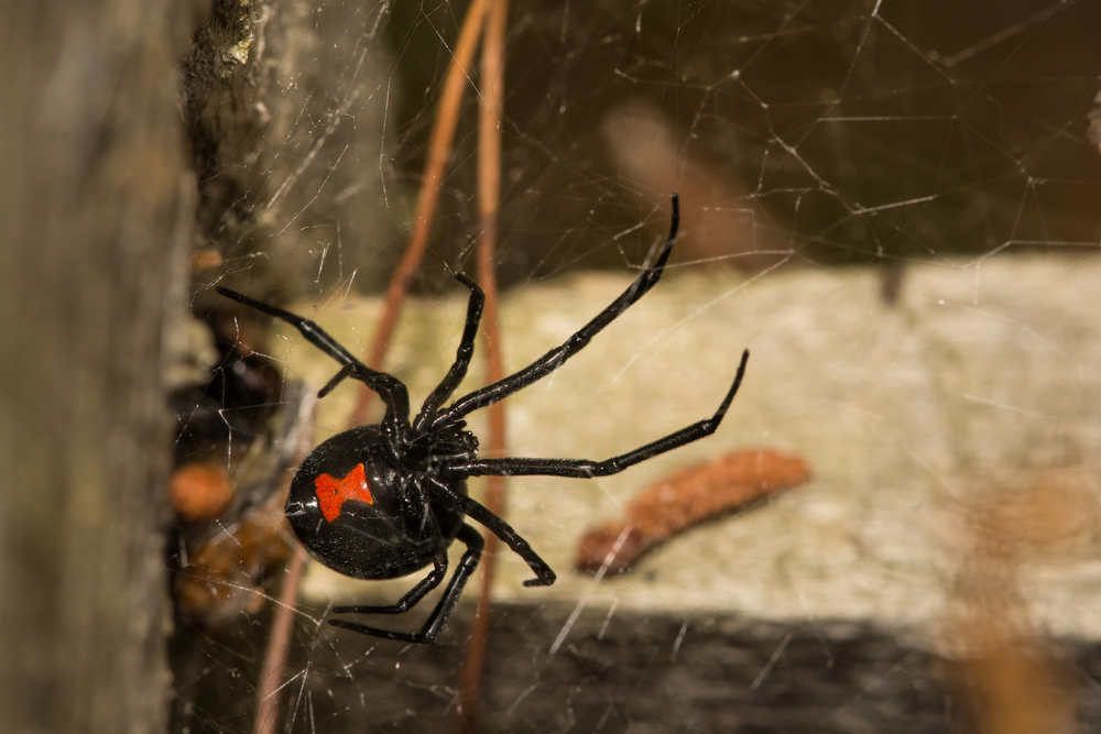 Are there Black Widows in Durham NC?