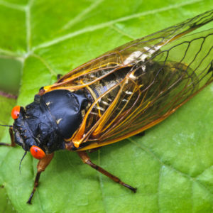 Are Cicadas Coming to Ohio in 2021?