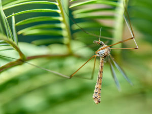 Do mosquito hawks actually eat mosquitoes?