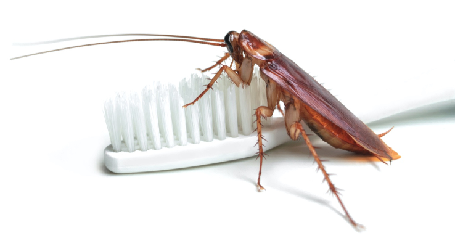 How do I get rid of American Cockroaches?
